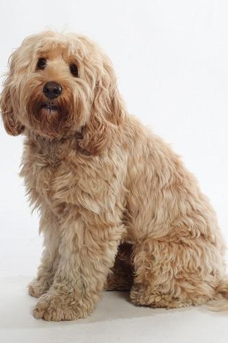 Labradoodles Puppies | Australian Labradoodles | Manhattan