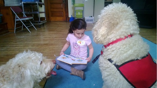 therapy dogs, long island therapy dogs, therapy labradoodles li ny
