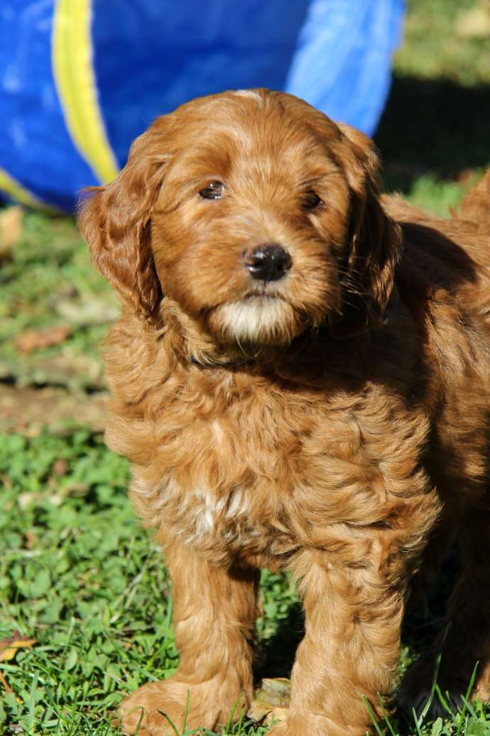 Labradoodle Adoptions